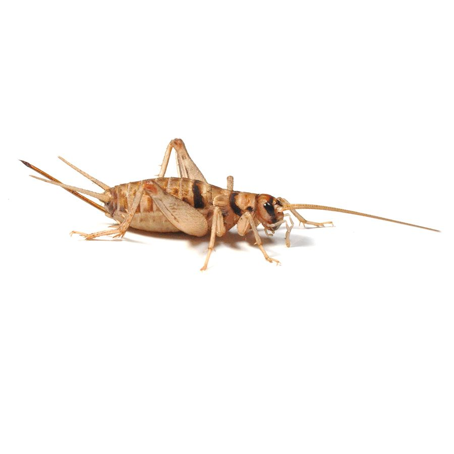 4th Banded Brown Crickets (12-14mm)