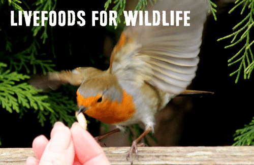 Livefoods for wildlife, a picture of a robin handfeeding. taking a waxworm.