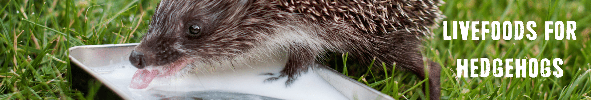 Hedgehog drinking water