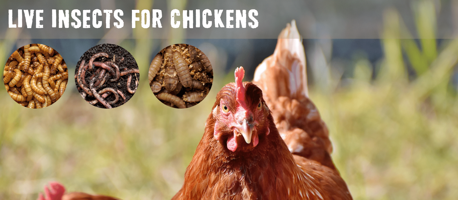 Live insects for chickens